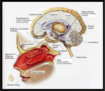 smelling brain