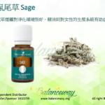 鼠尾草 Sage