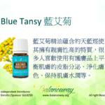 藍艾菊 Blue Tansy