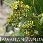 Protected: Royal Hawaiian Sandalwood