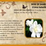 Protected: Rose of Sharon Essential Oil